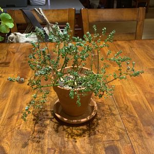 Bonsai Tree - Artillery Plant for Sale in Silver Spring, MD