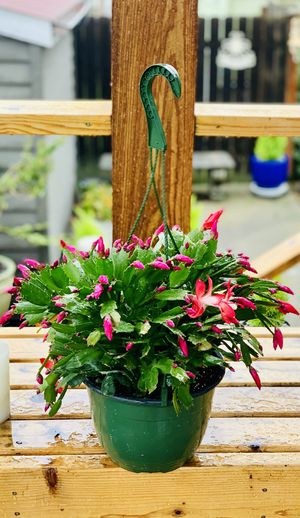 Live indoor red flowered Christmas cactus house plant in a hanging plastic temporary planter flower pot—firm price for Sale in Tukwila, WA