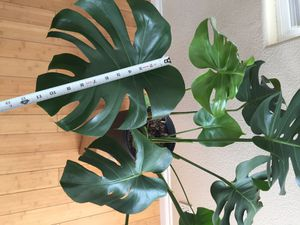 Large Monstera.....$70 for Sale in West Covina, CA