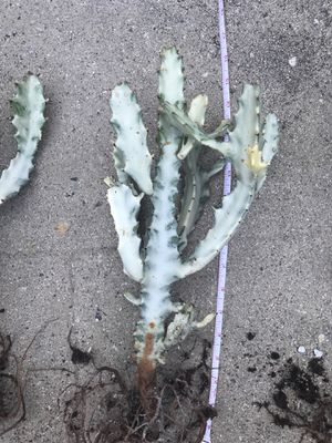"""H""- euphorbia Lactea for Sale in Los Angeles, CA"