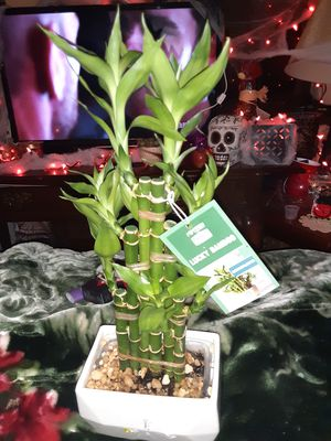 LUCKY Bamboo plant for Sale in Murfreesboro, TN