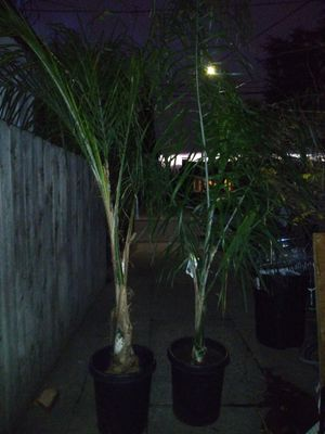 Two queen palms 25$each for Sale in San Jose, CA