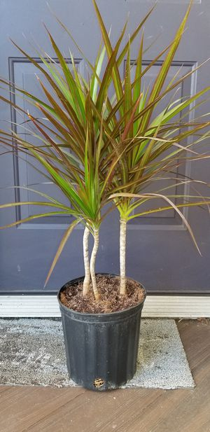 Dracaena Marginata Magenta for Sale in Columbus, OH