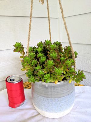Jelly Bean Succulent Plants in Grey Tone Hanging Ceramic Planter Pot-Real Indoor House Plant for Sale in Auburn, WA