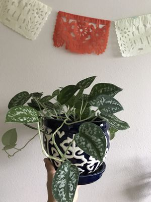 Live Plant Silver pothos in Ornate Pot for Sale in Seattle, WA