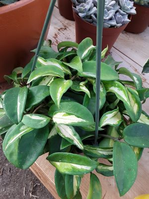Hanging baskets with hoya plants $15 each for Sale in La Mirada, CA