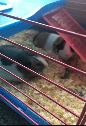 Free guinea female adults need gone ginuea only for Sale in Alexandria, VA