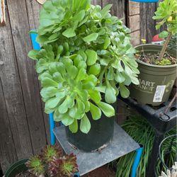 Green Aeonium Succulent for Sale in Stanton,  CA