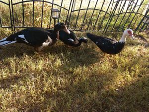 Muscovy Duck for Sale in Payson, AZ