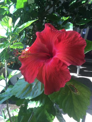 Giant Red hibiscus plant for Sale in Daniels, MD