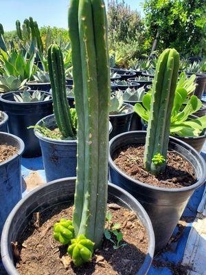 San pedro cactus for Sale in Ontario, CA