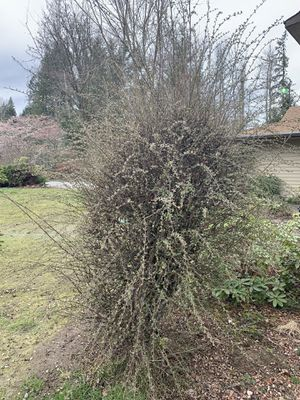Large bush with berries for Sale in Graham, WA