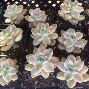 Rare Korean succulent Titubans for Sale in Alhambra, CA