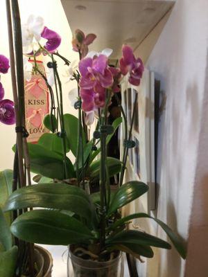 Orquídeas for Sale in San Mateo, CA