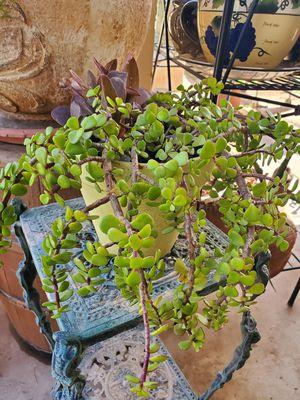 Beautiful Elephant Cactus Plant for Sale in Phoenix, AZ