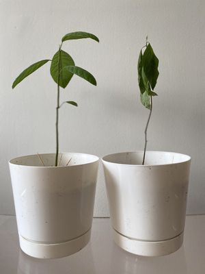 Avocado trees and pots! for Sale in New York, NY
