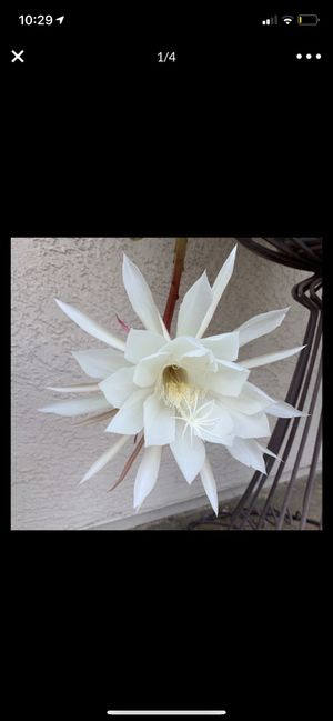 Epiphyllum/ orchid cactus for Sale in Valley Center, CA