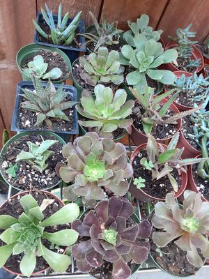 """Succulent plants in a 4"""" pot $2 each pot, good for party favors or Baby shower,Wedding,Birthdays souvenirs for Sale in Anaheim, CA"""