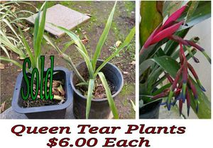 Queen tear plant - last one for Sale in Hacienda Heights, CA