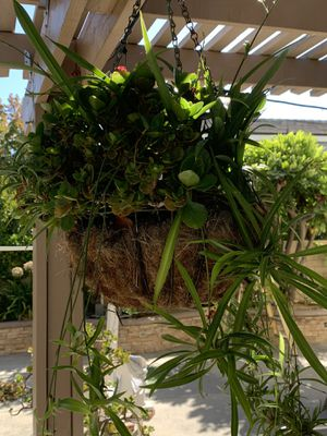 """12""""Hanging basket with plants for Sale in Diamond Bar, CA"""