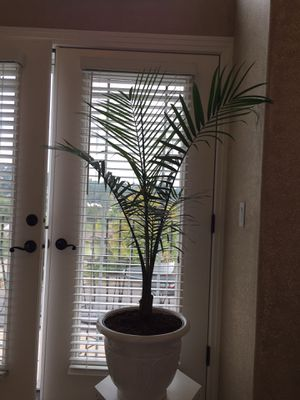 Palm plant for Sale in Happy Valley, OR