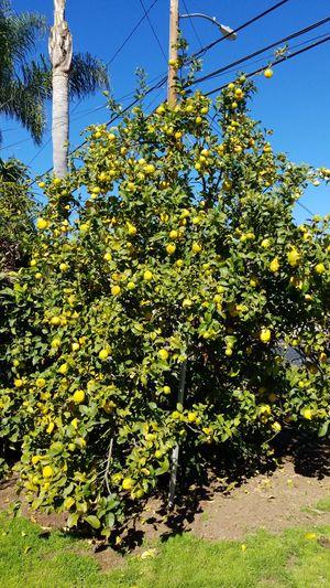 Lemons for sale for Sale in Vista, CA