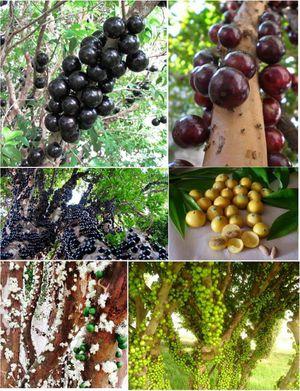 Jaboticaba brazilian grapes trees in 3 gal arboles de jaboticaba en 3 gal for Sale in Boca Raton, FL