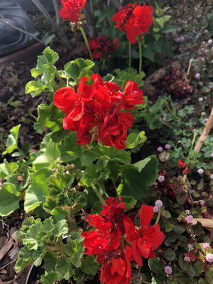 Geraniums (red color) for Sale in Clovis, CA