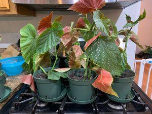 Angel Wing Begonia for Sale in San Bernardino, CA