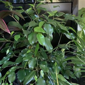 Large Weeping Fig Tree for Sale in Renton, WA