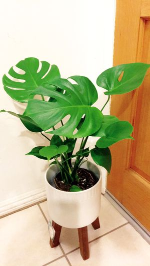 Monstera Deliciosa Plant - Indoor Plant - $15 Plant Only - PLANTER NOT INCLUDED for Sale in Garden Grove, CA