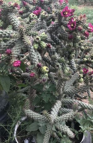 cholla cactus in a 1 gallon for Sale in Moreno Valley, CA