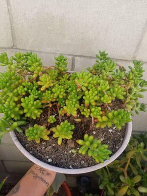 Suculenta for Sale in Fontana, CA