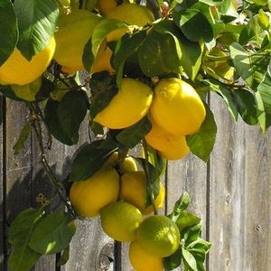 Combination of 30 ORGANIC LEMONS & 30 ORGANIC ORANGES OFFERED: $25 FOR A BOX WILL DELIVER IN MODESTO for Sale in Modesto, CA