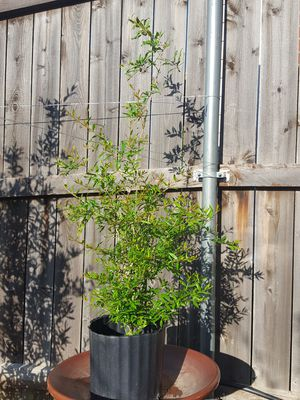 4 feet pomegranate fruit tree plant for Sale in US