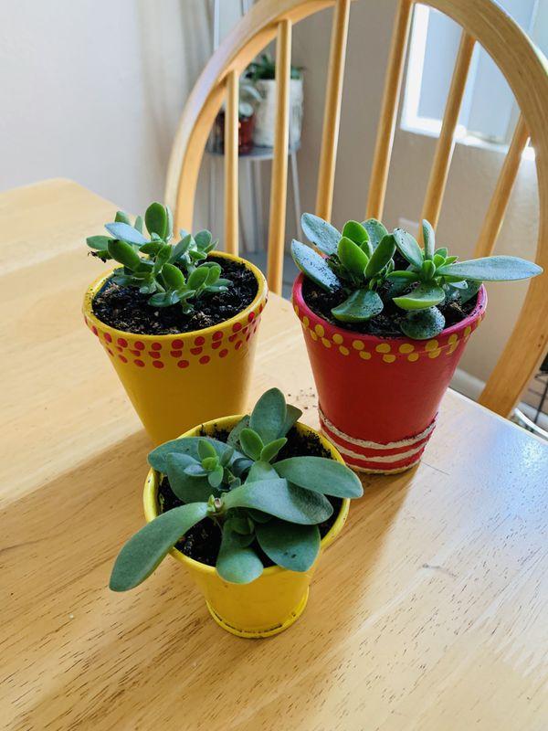 Live succulent plants-3plants