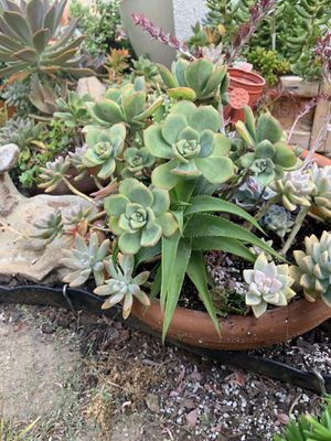 Succulents for sale prices from 20 up for Sale in Orange, CA