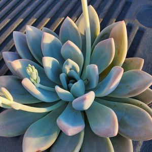 Opalina Succulent for Sale in Ontario, CA