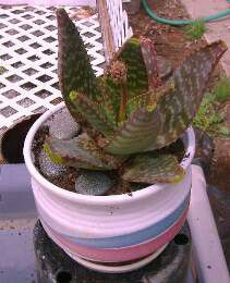"""Ceramic potted 10"""" aloe vera plants. List price includes 1 planted pot. for Sale in Norco, CA"""