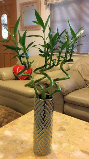 "Live BAMBOO - Lucky Bamboo - Almost 30"" high total-$18 each vase for Sale in Santa Ana, CA"