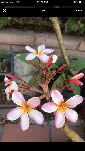 Plumeria Flowering Cuttings for Sale in Anaheim, CA