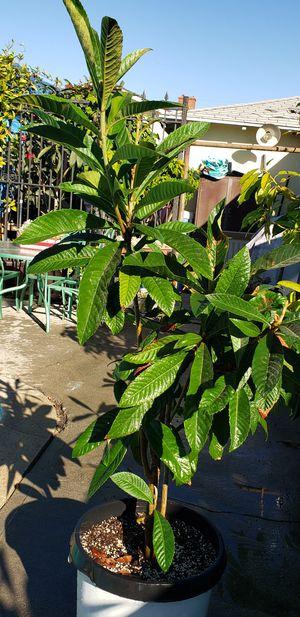 Loquat tree. Nispero for Sale in Redondo Beach, CA
