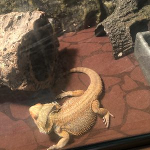 Male Bearded Dragon Toy for Sale in Hawthorne, CA