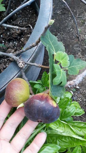 Fig. Live plants for Sale in Lexington, KY