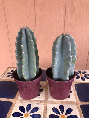 Cactus Plant Cutting Cereus Peruvian Apple Night Blooming for Sale in Chandler, AZ