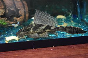 10 gallon tank with accessories+ adult Pleco fish for Sale in North Highlands, CA