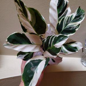 Miniature Calathea White Fusion Diva Plant In 4 Inch Nursery Pot Hard To Find Rare Plant for Sale in Altadena, CA