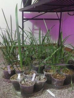 70 Date Palms for Sale in Kearns,  UT
