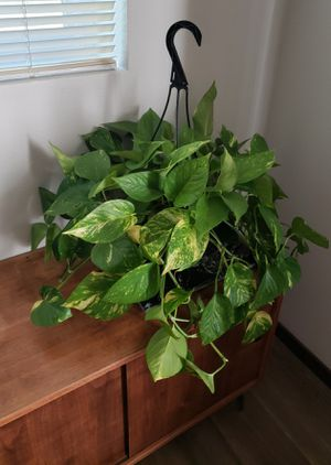 Golden Pothos for Sale in Burlington, WA