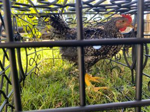 Hen or rooster ?. for Sale in Stockton, CA